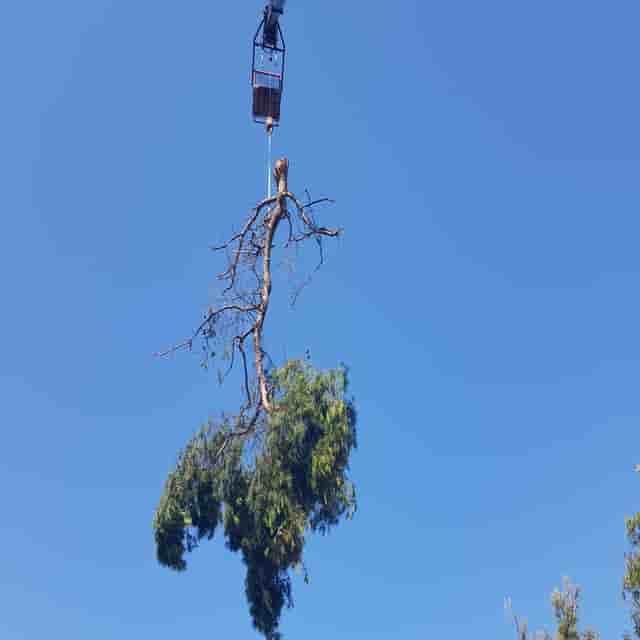 κοπή υψηλών δέντρων